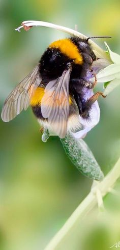 Insect Photography, Animal Photography, Nature Animals, Animals And Pets, Let's Make Art, Bee Photo, I Love Bees, Cute Bee, Bee Art