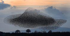 Starling Murmurations | Owen Humphreys