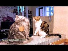 Funny Cats video | Calm down , Bro ! -  #animals #animal #pet #cat #cats #cute #pets #animales #tagsforlikes #catlover #funnycats  - #Cats