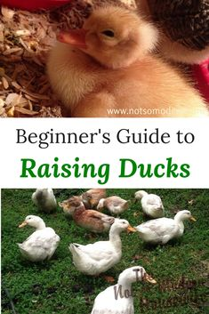 Ducks are often overlooked as a resource for meat and eggs on the homestead. In fact, these poultry are very hardy and easy to raise. Learn everything a beginner needs to know about raising ducks. Backyard Ducks, Backyard Poultry, Backyard Farming, Chickens Backyard, Backyard Coop, Backyard Birds, Raising Ducks, Raising Chickens, Baby Chickens