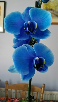 Dyed blue orchid.