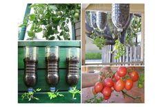 Como plantar tomate em garrafa pet Encontramos a solução perfeita para as pessoas que desejam desfrutar de tomates caseiros, mas não tem um quintal. O projeto é muito simples e leva cerca de 15 min…
