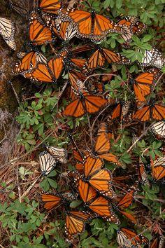 Mariposa Monarca - Sitio Web del gobierno mexicano