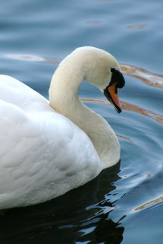 Swans, my little great nieces dream is to live near a lake in the mountains and have Swans