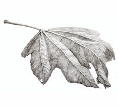 Autumn leaf of a figtree Pencil drawing on paper marjohofmann.com