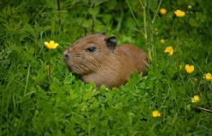 2_Visitors to Chester Zoo were treated to the sight of four baby capybaras being born to mum Lochley. The capybara is the world's largest rodent species.  (3)