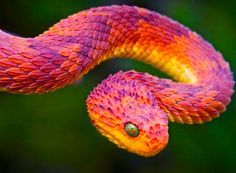 The beautiful, extremely poisonous African bush viper.