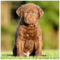 Chesapeake Bay Retriever pup. OMG so cute.  #chesapeakebayretriever