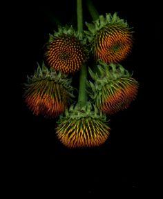 46990 Echinacea   Flickr - Photo Sharing!