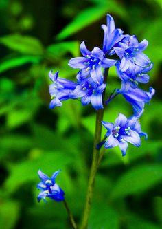 blue bell flower - Google Search