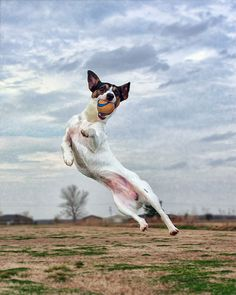 Jack Russell Terrier Dog Breed Information, Pictures, Characteristics & Facts – Dogtime