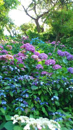 How beautiful, isn't it? These beautiful flowers are in the garden of Hase Temple in Kamakura.