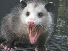 from http://emergencywildliferemoval.com/opossum-removal-tampa-florida/