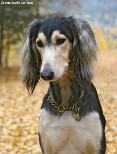 Saluki---the only breed I will ever want to own.