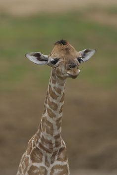 Giraffe calf by Official San Diego Zoo