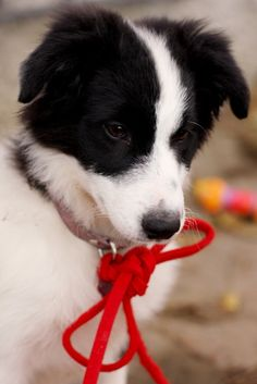 I love border collies, smartest dogs in the world!  Sophie :)