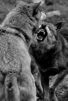 Wolf Photos, Wolf Pictures, Beautiful Creatures, Animals Beautiful, Cute Animals, Wild Animals, Wolf Spirit, Spirit Animal, Wolves Fighting
