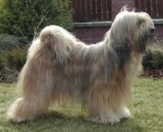About Dog Tibetan Terrier: How Well Is Your Tibetan Terrier Groomed?