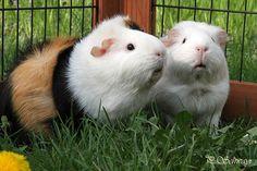 unsere Meeries ;-) Kreatives by Petra #meeries #meerschweinchen #guineapig #rosettenmeerschweinchen Petra, Rabbit, Photos, Animals, Ceiling Medallions, Guinea Pigs, Mosaics, Canvas, Animales
