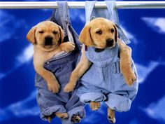 funny pictures of lab puppies | Cute Puppies Labrador Wallpaper. Enlarge Wallpaper and Download ·