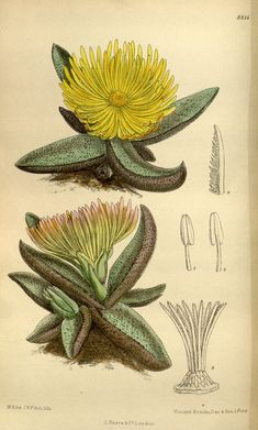 n102_w1150 | Curtis's botanical magazine.. London ; New York… | Flickr