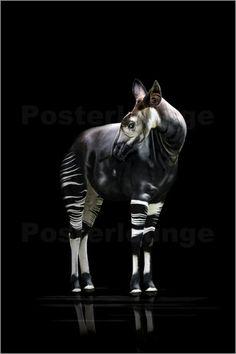💘💘 Okapi Poster von Werner Dreblow günstig bestellen 💘💘 Abstract Photography, Animal Photography, Fine Art Photography, Okapi, Pi Art, Animals And Pets, Cute Animals, Tropical Forest, Creatures Of The Night