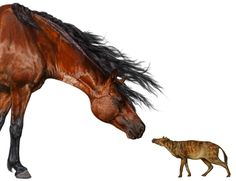 "When the earliest horses appeared about 56 million years ago, they were about the size of a miniature schnauzer. Then, over the next 130,000 years, these ""protohorses"" became even smaller, shrinking to the size of a house cat (artist's reconstruction of Sifrhippus sandrae, right, compared with a modern-day Morgan horse, which weighs a half-ton).  Credit: Credit: Danielle Byerley/Florida Museum of Natural History  Source: http://news.sciencemag.org"