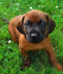 Bavarian mountain hound puppy