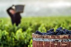 Balance final de la vendimia en Rioja - Foto DOCa Rioja Blackberry, Fruit, Food, Serenity, Photography, Ideas, Gastronomia, Wine Cellars, Gourmet Recipes
