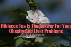 Hibiscus Tea Is The Answer For Your Obesity And Liver Problems Check us out at https://onlinehealthdigest.com