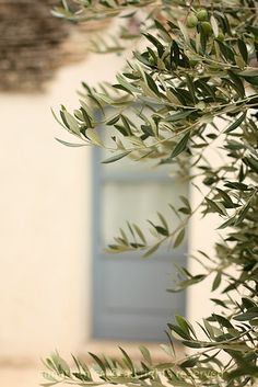 Olive tree with white and blue exterior