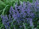 Lemon Pedge Nepeta will provide up to 3 months of continuous bloom in your garden