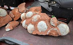 43 dinosaur egg fossils unearthed in south China. Some of the fossilised dinosaur eggs discovered during road works in Heyuan city, in south China's Guangdong province [Credit: Corbis]