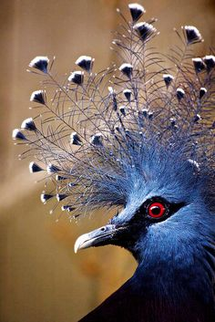 Beautiful Blue Crowned Pigeon