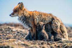 ALLPE Medio Ambiente Blog Medioambiente.org : Los cercanos zorros de Iván Kislov