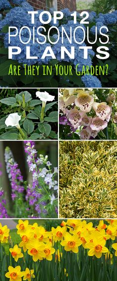 Top 12 Poisonous Plants • Are They in Your Garden? • Check these plants and make sure your garden is safe!