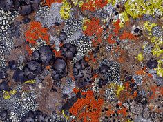 lichen- Caloplaca saxicola, Umbilicaria cylindrica, Lecanora novomexicana, Pleopsidium flavum