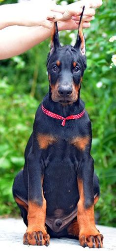 male #doberman #puppy for sale - www.sierradobiefarms.com
