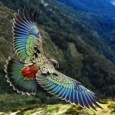 Kea - New Zealand alpine parrot More