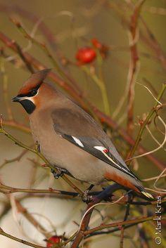 Pestvogel, Vogelwacht Delft-IMG_0219.jpg