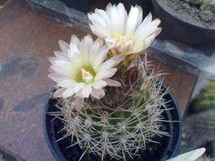 Neoporteria confinis Cacti And Succulents, Tropical, Garden, Plants, Ornamental Plants, Succulents, Flowers, Garten, Lawn And Garden