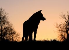 Wolf and sunset