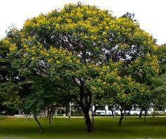 CANAFÍSTULA | Florestas Nativas - pioneira, de rápido crescimento. Ornamental.