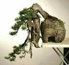 abd4f767a8ba1fef03ad75e7fc1dac21--pine-bonsai-bonsai-plants.jpg (504×480)