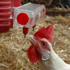 where to get the best chicken keeping supplies