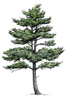 eastern white pine tree drawing - Google Search