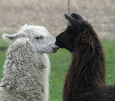 Llamas thinkin' 'bout it