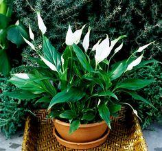 Όλοι ξέρουμε ότι τα φυτά του σπιτιού μας παράγουν οξυγόνο. Αλλά λίγοι ξέρουμε ότι, επιπλέον, τα φυτά έχουν την ιδιότητα να καθαρίζουν τον αέρα από τις τοξίνες και τις σκόνες, πράγμα που είναι εξαιρετι Garden Plants, Indoor Plants, House Plants, Pot Jardin, Inside Plants, Peace Lily, Organic Gardening Tips, Vegetable Gardening, Interior Plants