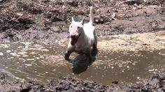 Cornbread the bull terrier and the swamp