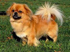 Tibetan Spaniel dog-very very similar to my Bud-1996-2007